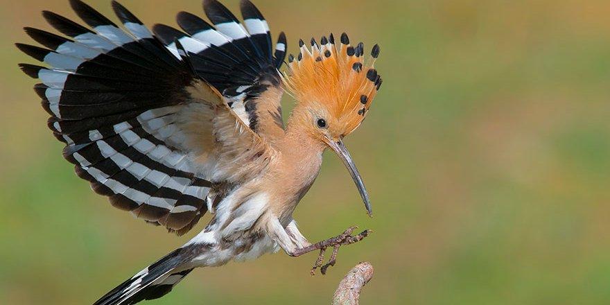 Birincilik İbibik Kuşu'nun