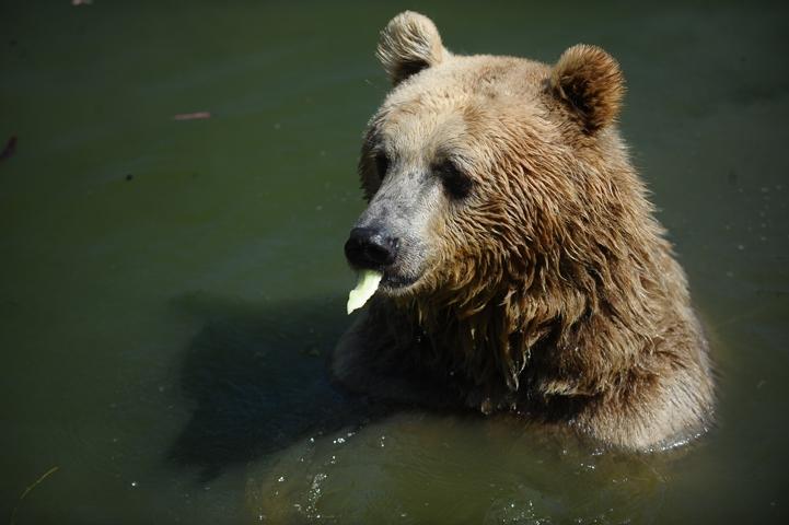 Sıcaktan bunalan ayıların buzlu meyve keyfi 1
