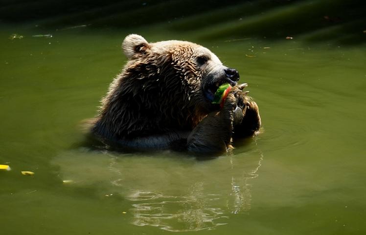 Sıcaktan bunalan ayıların buzlu meyve keyfi 5