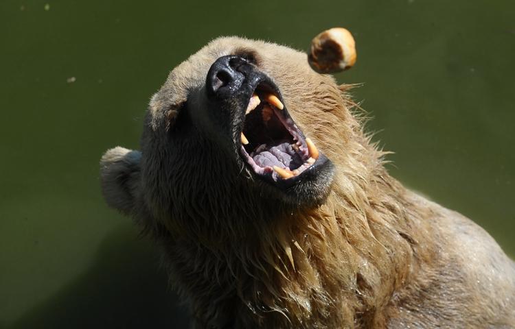 Sıcaktan bunalan ayıların buzlu meyve keyfi 6