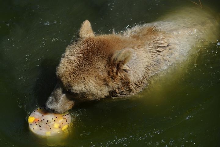 Sıcaktan bunalan ayıların buzlu meyve keyfi 7