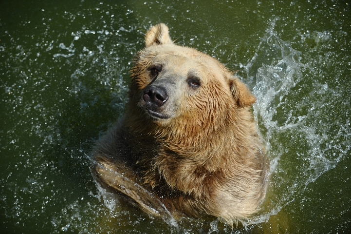 Sıcaktan bunalan ayıların buzlu meyve keyfi 8