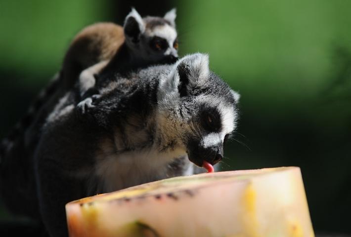 Lemurların buzlu karpuz keyfi 1