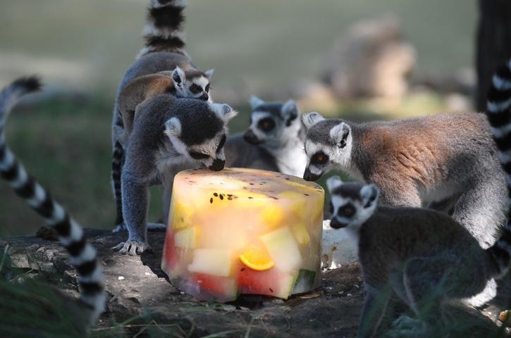 Lemurların buzlu karpuz keyfi 10