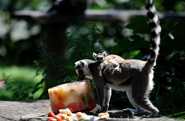 Lemurların buzlu karpuz keyfi 3