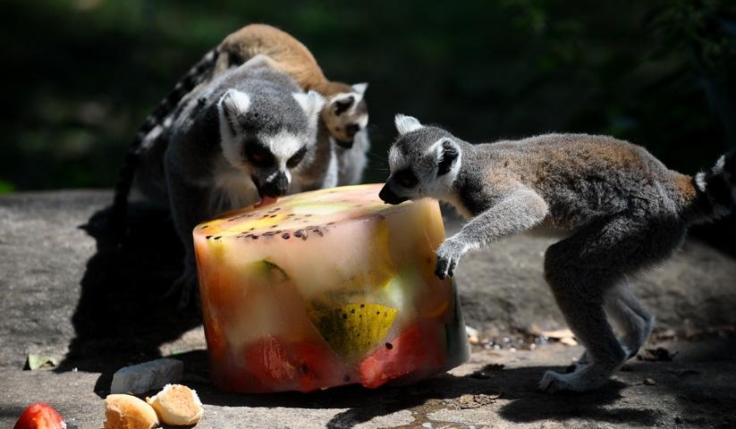 Lemurların buzlu karpuz keyfi 9