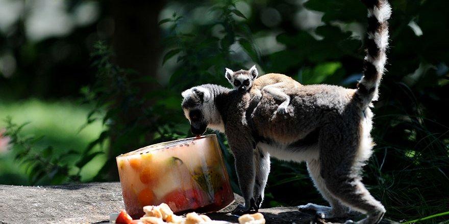 Lemurların buzlu karpuz keyfi