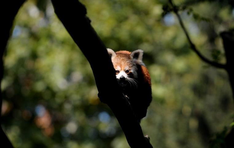 Bursa Hayvanat Bahçesi'nin yeni misafiri kırmızı pandalar 1