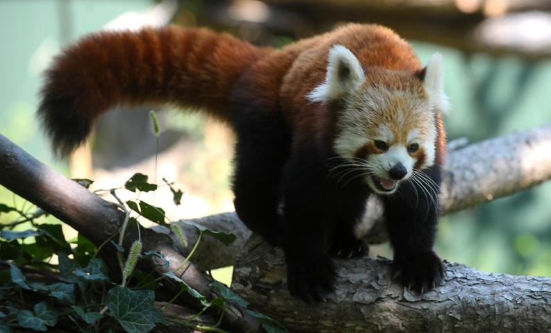 Bursa Hayvanat Bahçesi'nin yeni misafiri kırmızı pandalar 3
