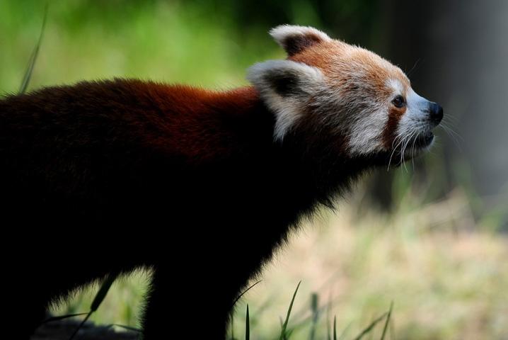 Bursa Hayvanat Bahçesi'nin yeni misafiri kırmızı pandalar 4