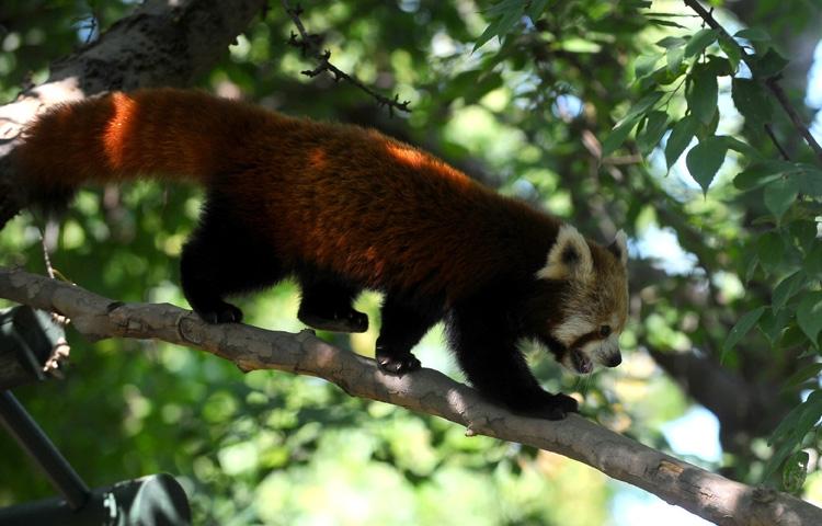 Bursa Hayvanat Bahçesi'nin yeni misafiri kırmızı pandalar 5