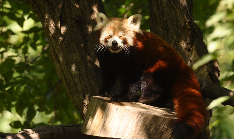 Bursa Hayvanat Bahçesi'nin yeni misafiri kırmızı pandalar 7