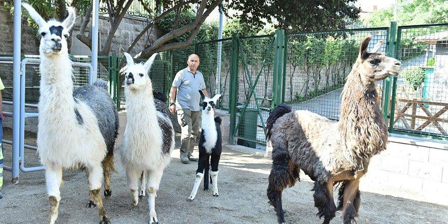 Keçiören Evcil Hayvanlar Parkı'nın Yeni Üyeleri Dünyaya Gözlerini Açtı