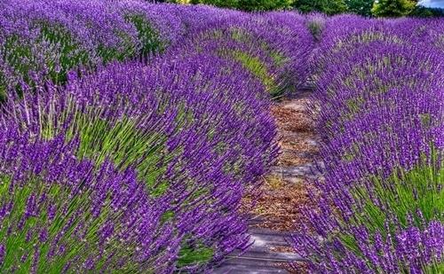 Türkiyede yetişen en şifalı 10 bitki 7