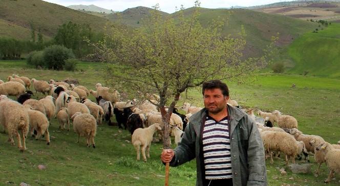 Çankaya'nın Koyunları Meralarda