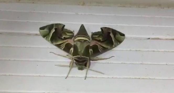 Nadir rastlanan 'mekik kelebeği' Sakarya'da görüldü