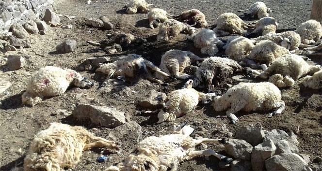 Avluya giren kurt sürüsü 40 koyunu telef etti