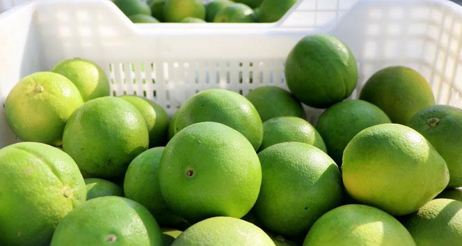 Adana'da portakal hasadı başladı