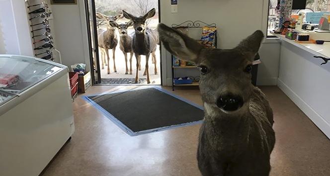 Çikolata verilen geyik ailesini de getirdi