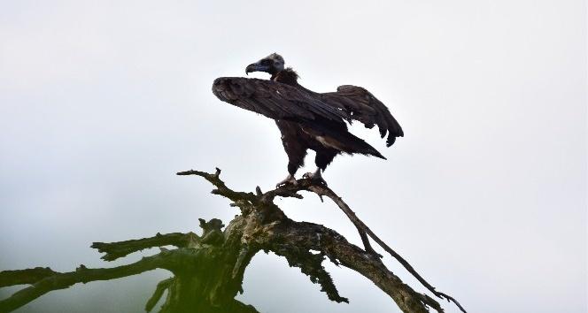 Nesli tükenme tehlikesindeki kuş çoğalıyor
