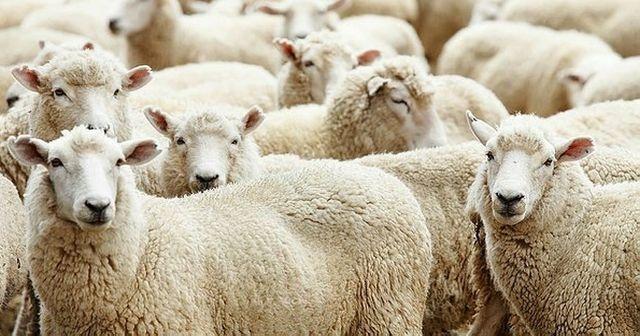 300 koyun projesi'nde başvurular başladı