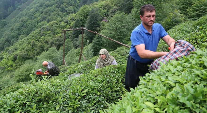 ÇAYKUR Genel Müdürü Sütlüoğlu çay sezonunu açtı