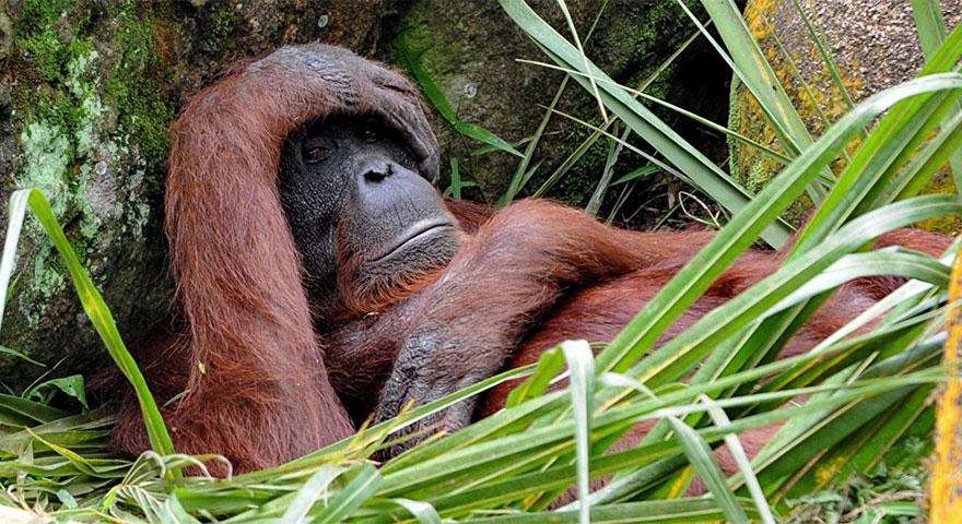 Orangutan iş makinesine karşı! Yaşam alanı için direndi