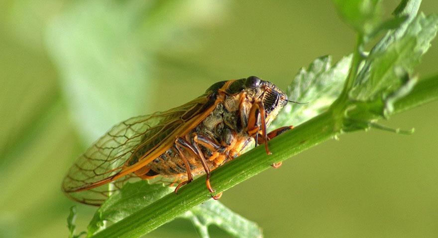 Kayısı üreticilerine 'Ağustosböceği' uyarısı