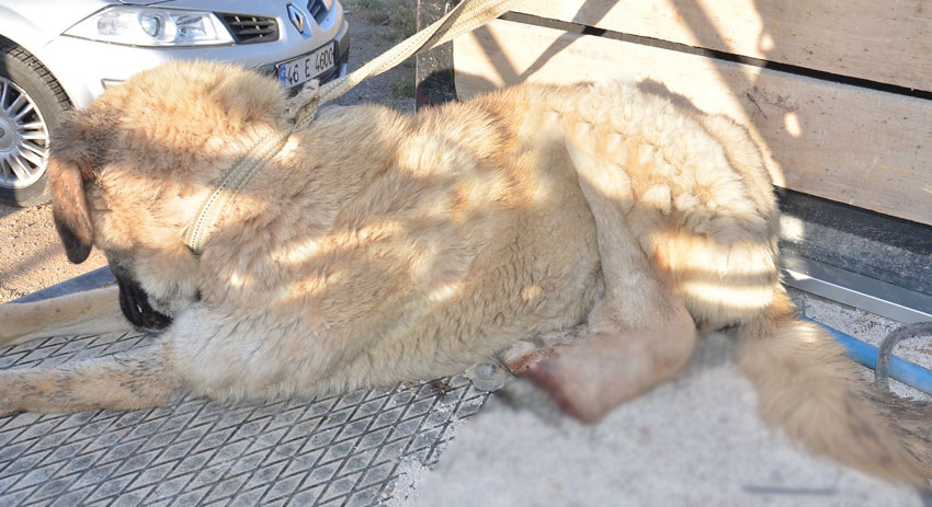 Sokak köpeğinin bacağını kestiler