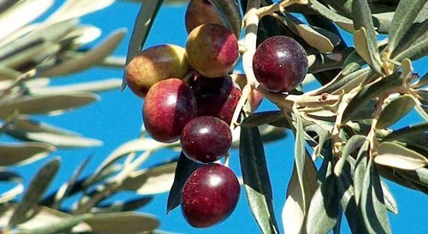 Büyükşehir zeytin üreticisini zeytin sineğine karşı uyardı