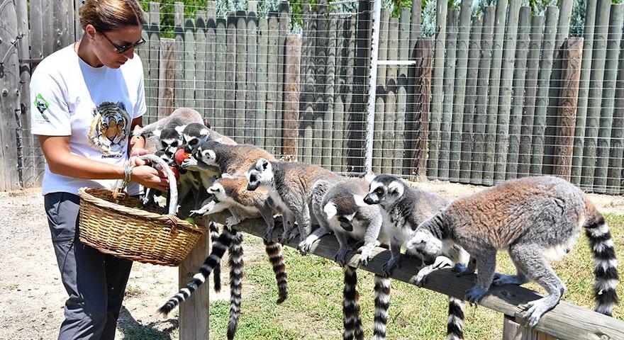 Sevimli oldukları kadar yaramaz Lemurlar