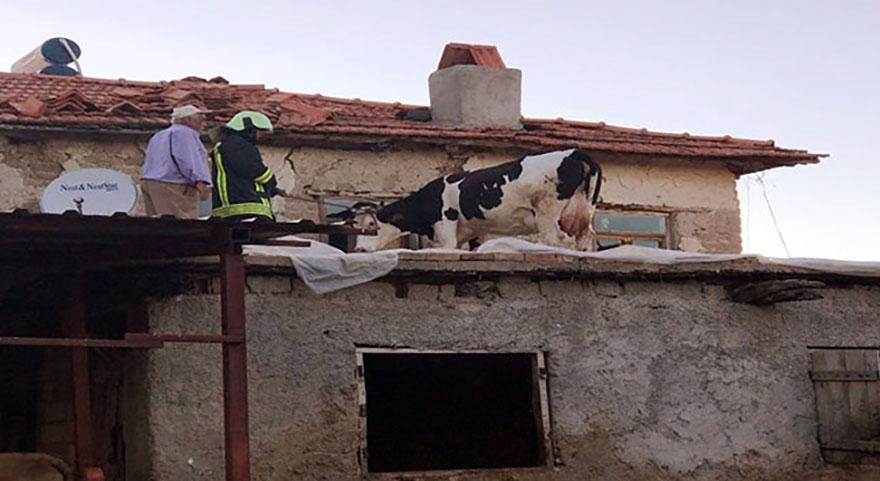 Denizli'de ahırın çatısına çıkan inek mahsur kaldı