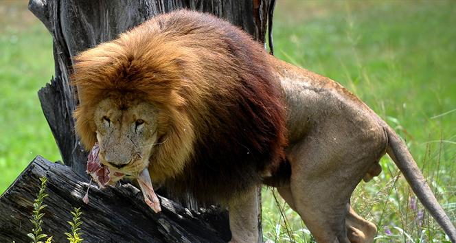 Aslan ve kaplanlara test