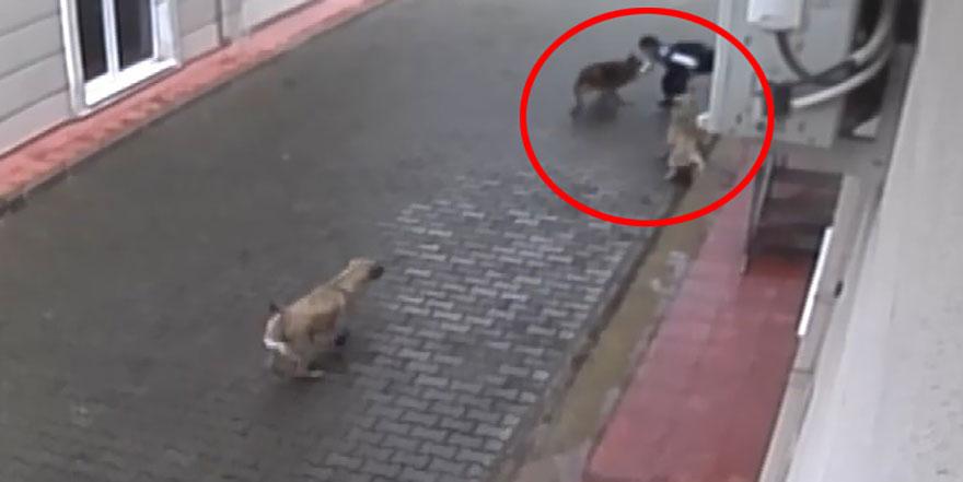 Aç kalan sokak köpekleri çocuğu parçaladı