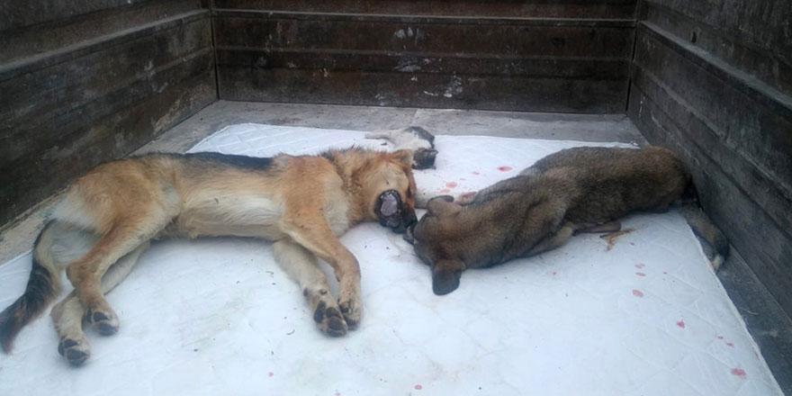 Başkent'te köpekler zehirlendi! 20 köpek tedavi altına alındı