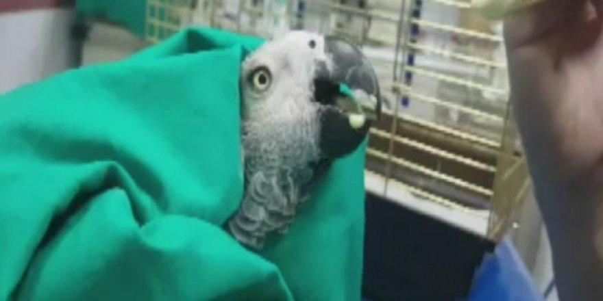 MasterChef Murat tarafından işkence gören papağan ameliyat edilecek