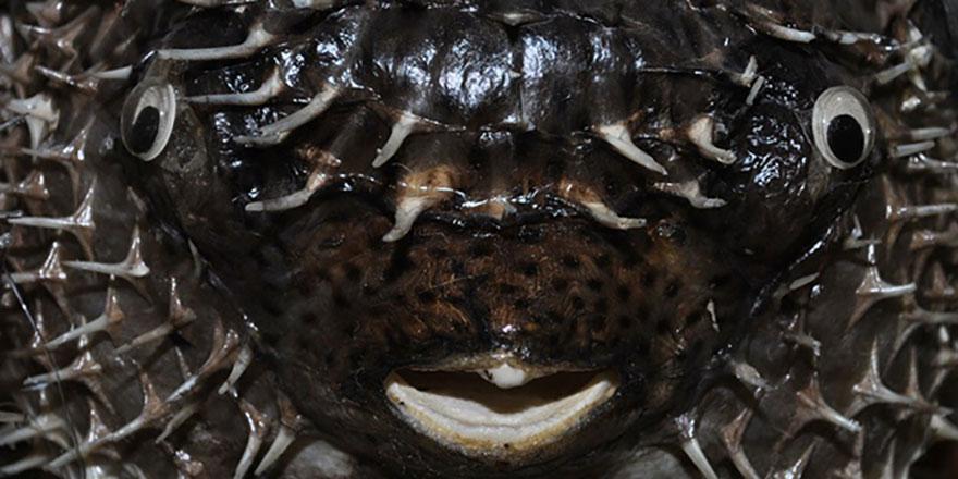 Tek dişli canavar! Akdeniz ve Ege'de istilaya başladı
