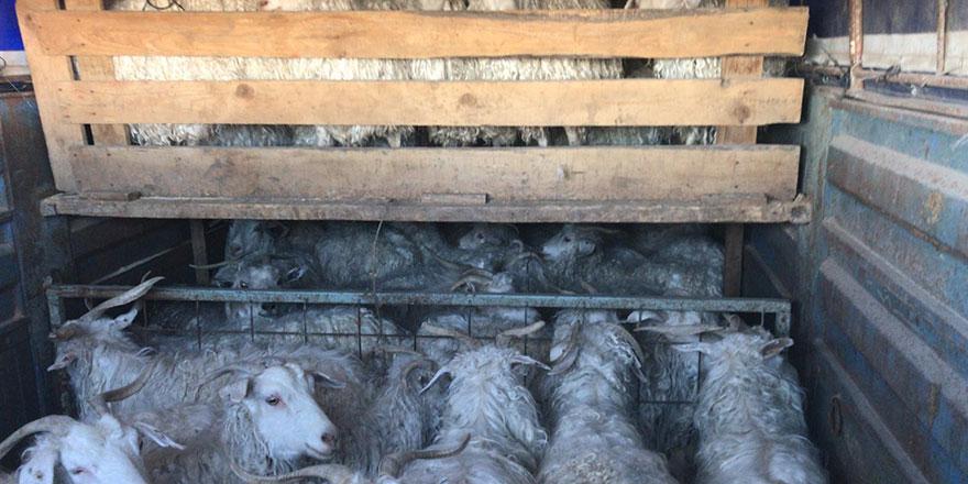 Sisli havada 170 keçiyi çaldılar