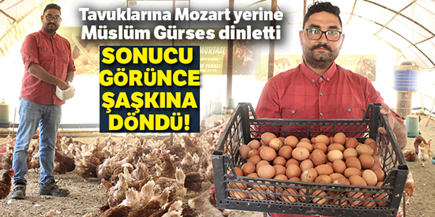 Tavuklar Müslüm Gürses şarkılarıyla yumurtlamaya başladı