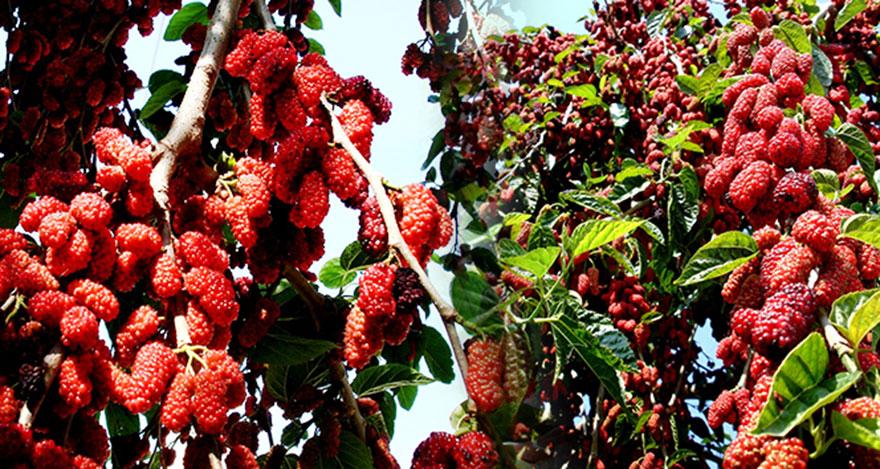 Yapraktan çok meyvesi olan dut ağaçları şaşırttı