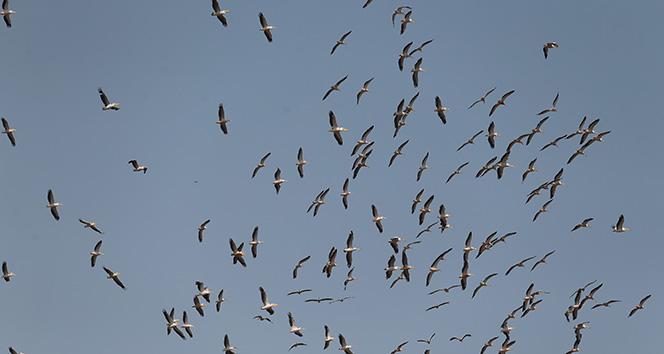 Pelikanların gökyüzündeki dansı havadan görüntülendi