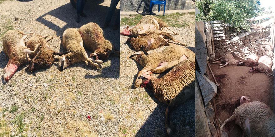 Haymana'da kurtlar sürüye saldırdı