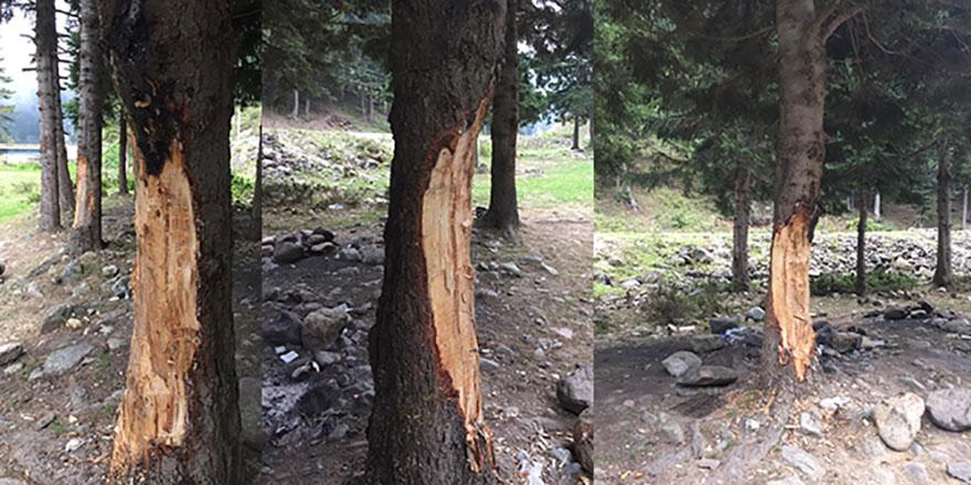 5 lira için 70 yıllık ağaçlara kıydılar
