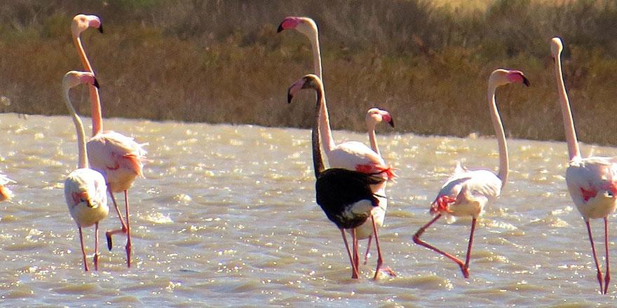 Siyah flamingo tekrardan Türkiye'de
