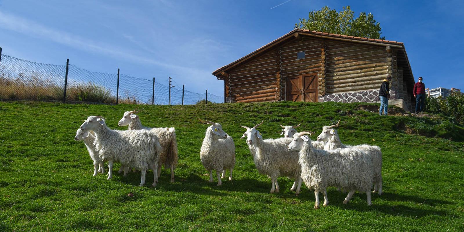 Keçiler Altınköy'ü çok sevdi
