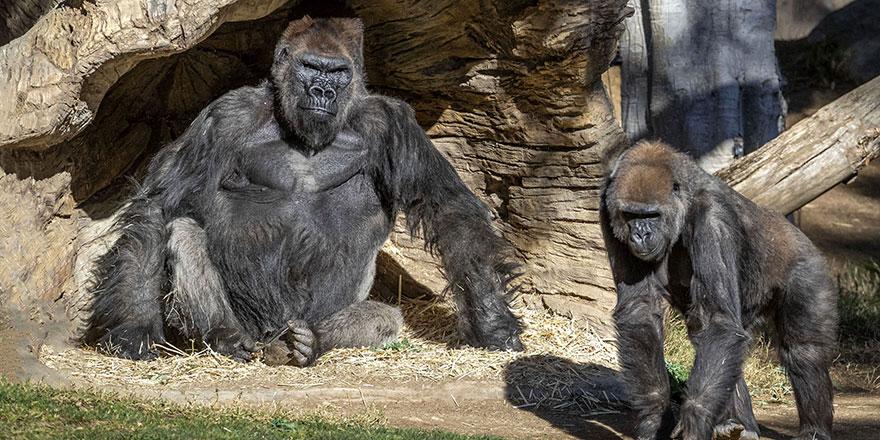 Koronavirüs ilk kez gorillerde tespit edildi