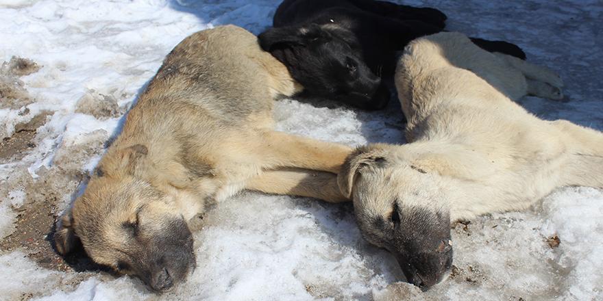 Ankara'da 3 köpeğin şüpheli ölümü