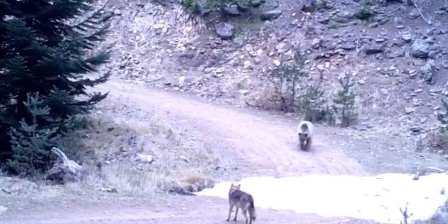 Ankara'da kurt ile ayının kovalamacası kamerada