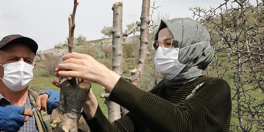 Ankara armudu Akyurt'ta