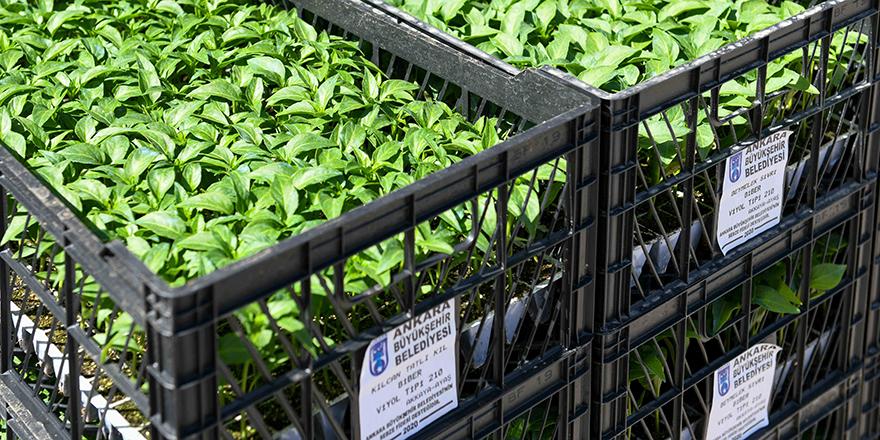 Başkentli çiftçiye 8 Milyon sebze fidesi dağıtılacak